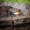 American Robin, bathing in the fountain, 04.jpg