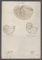 Ammonites spec. - - Print - Iconographia Zoologica - Special Collections University of Amsterdam - UBAINV0274 091 01 0083.tif