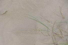 Ammophila arenaria roots.jpg