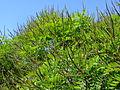 Amorpha ouachitensis.jpg