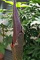 Amorphophallus konjac 1zz.jpg