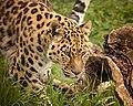 Amur Leopard (214091199).jpeg