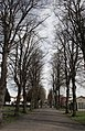 An Avenue of Limes - geograph.org.uk - 778302.jpg