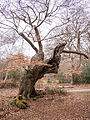 Ancient tree (6958276762).jpg