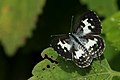 Andaman40 Andaman Common pierrot (7999678491).jpg