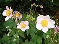 Anemone hupehensis vel japonica (Herbstanemone).JPG