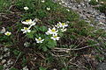 Anemone narcissiflora 30.jpg