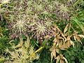 Angelica acutiloba subsp. iwatensis 3.JPG