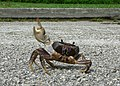 Angry Crab, Crossing the Road (256233677).jpg