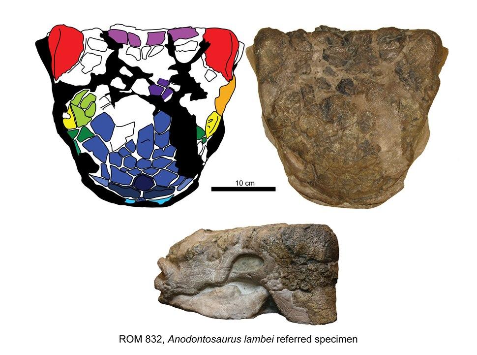 Anodontosaurus lambei ROM 832