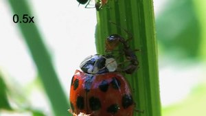 File:Ant attacks ladybeetle.ogv