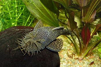 English: a Bristlenose Catfish (ancistrus doli...