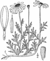 Anthemis arvensis-linedrawing.png