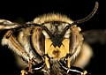 Anthidium manicatum, m, face, Middlesex Co, MA 2015-12-02-12.19 (23636010132).jpg