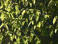 Antiaris toxicaria Lesch. (8365313578).jpg