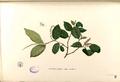 Antidesma ghaesembilla Blanco1.25-original.png