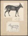 Antilope sumatrensis - 1700-1880 - Print - Iconographia Zoologica - Special Collections University of Amsterdam - UBA01 IZ21400177.tif