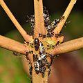 Ants tending treehoppers (15030975196).jpg