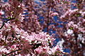 Apple-blossom-flowers - West Virginia - ForestWander.jpg