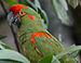 Red-fronted Macaw - Photo (c) Doug Janson, some rights reserved (CC BY-SA)