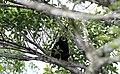 Araguato o Mono aullador - panoramio.jpg