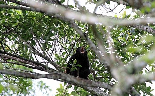 Araguato o mono aullador