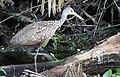 Aramus guarauna (Limpkin) 11.jpg