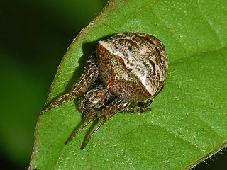 <i>Gibbaranea bituberculata</i> species of arachnid