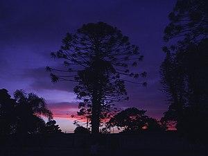 Pelotas - An araucaria tree at dusk near the hippodrome of Pelotas