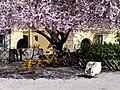 Arbre en fleurs Square Aglietta à Chambéry (mars 2019) 2.JPG