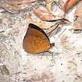 Archduke male (Lexias sp.) (22361864112).jpg