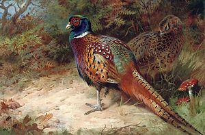 Archibald Thorburn - Cock and Hen Common Pheasant