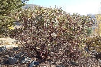 Arctostaphylos obispoensis - Image: Arctostaphylos obispoensis Leaning Pine Arboretum DSC05643