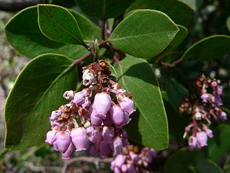 Arctostaphylos - Whiteleaf manzanita (Arctostaphylos viscida)