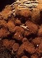 Arcyria ferruginea Saut 603768.jpg