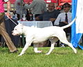 Argentine dog Moletai May 2014.jpg