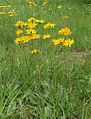 Arnica montana 180605a.jpg