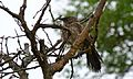 Arrow-marked Babbler (Turdoides jardineii) (6025260667).jpg