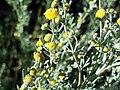 Artemisia alba ssp nevadensis StemandFlowers2.jpg