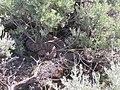 Artemisia tridentata wyomingensis and rattlesnake (4010781570).jpg