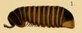 Arthrosphaera wroughtoni.png