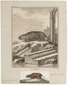 Arvicola amphibius - 1700-1880 - Print - Iconographia Zoologica - Special Collections University of Amsterdam - UBA01 IZ20500129.tif