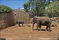 Asian-Elephant-Jerusalem-Jerusalem-Biblical-Zoo-IZE-322.jpg