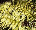 Asplenium bulbiferum in Dunedin Botanic Garden 02.jpg