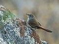Asthenes pudibunda - Canyon Canastero (cropped).jpg