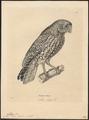 Athene fusca - 1700-1880 - Print - Iconographia Zoologica - Special Collections University of Amsterdam - UBA01 IZ18400057.tif