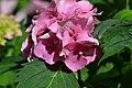 Atlas roslin pl Hortensja ogrodowa 3956 7167.jpg