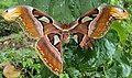 Attacus atlas with a wing gone 03.JPG