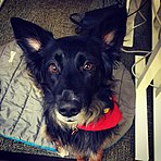 Australian Shepherd German Shepherd mixed dog named Kenya.JPG
