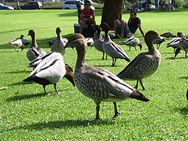 Australian Wood Ducks in Kings Park.jpg